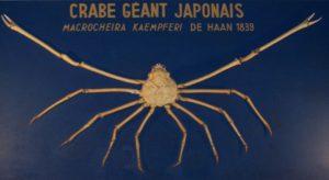 Crabe géant japonais, Macrocheira Kaempferi, colelctions du Musée de la Pêche de Concarneau